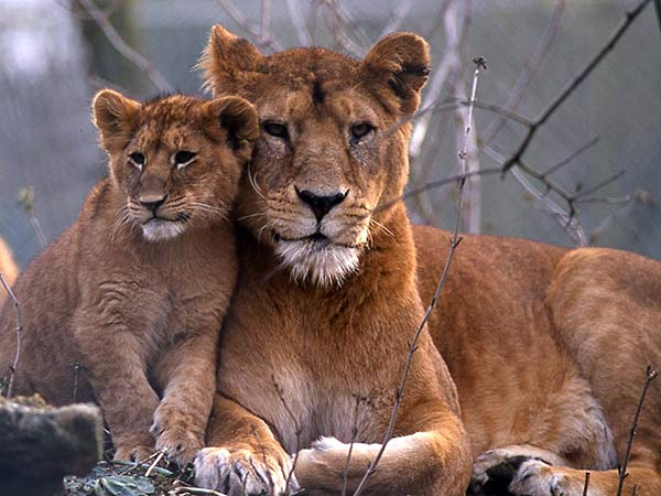 Dessin lionne - Lionne dessin ...